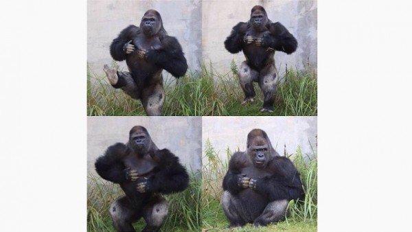 shabani dance pic Gorilla Dating Game